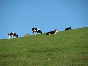 Sonoma Valley Bike Tour - Cows