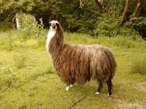 LLAMA Sighting! - Newberg, Oregon